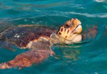 tortuga boba en Grecia