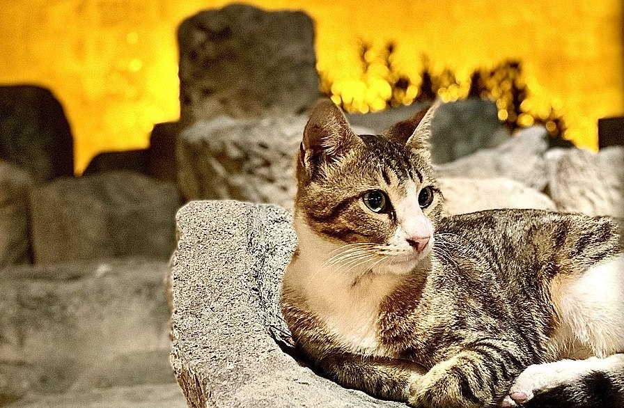 Gatos de Chipre